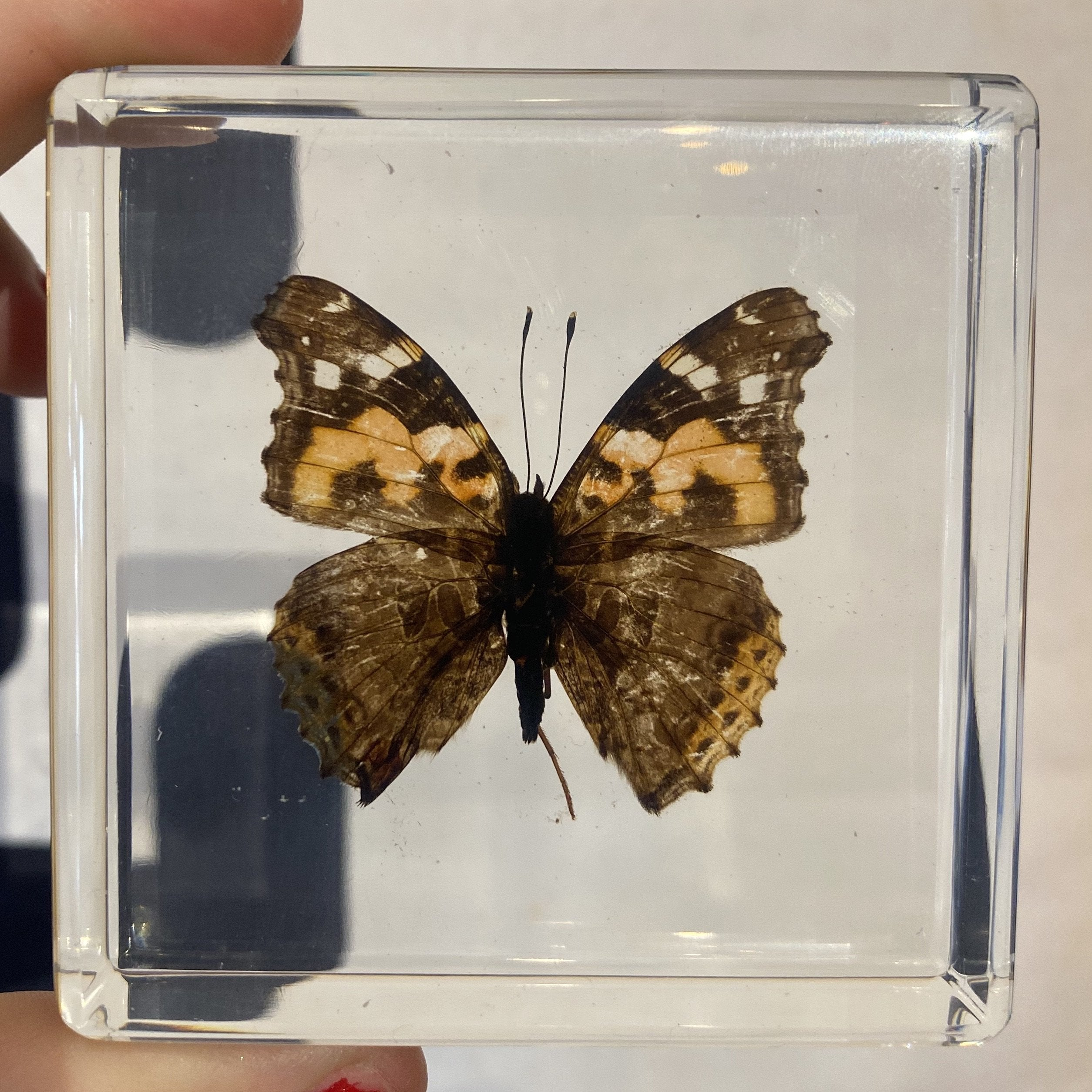 Indian Red Admiral Butterfly Paperweight