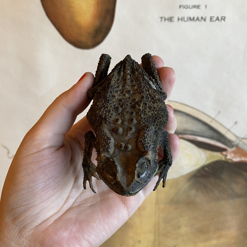 Dried Taxidermy Toad - Curious Nature