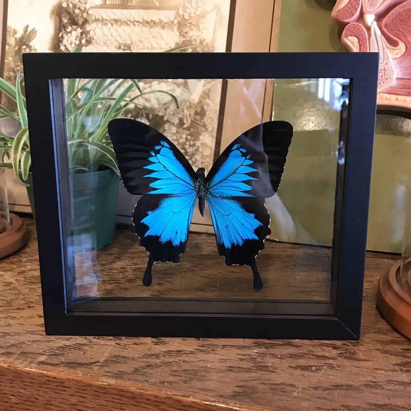 Mounted Papilio Ulysses Butterfly - Curious Nature