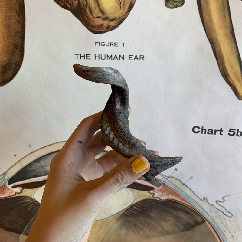 Goat Horn - Curious Nature