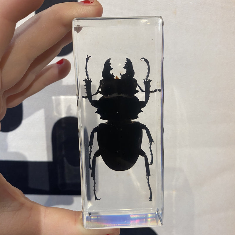 Large Black Stag Beetle Paperweight - Curious Nature