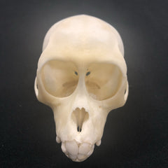 Juvenile Crab Eating Macaque Monkey Skull