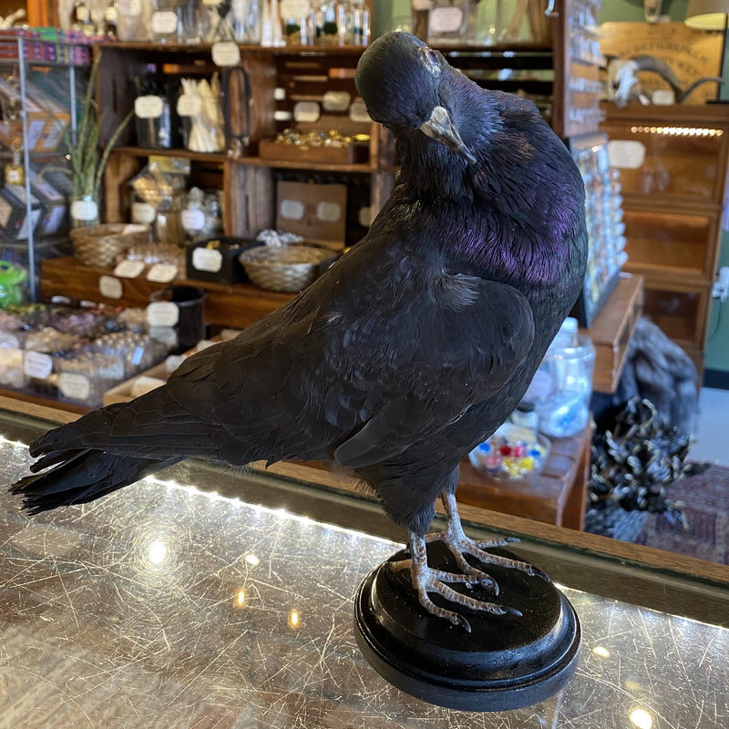 Dark Grey Taxidermy Pigeon - Curious Nature