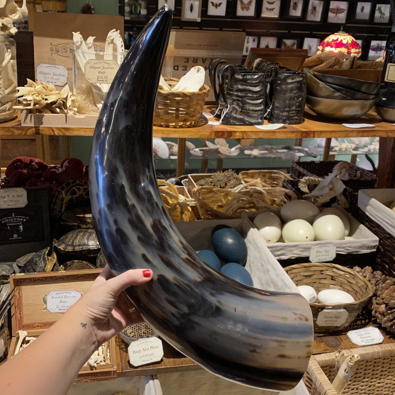 "28"" Polished Indian Water Buffalo Horn - Curious Nature"