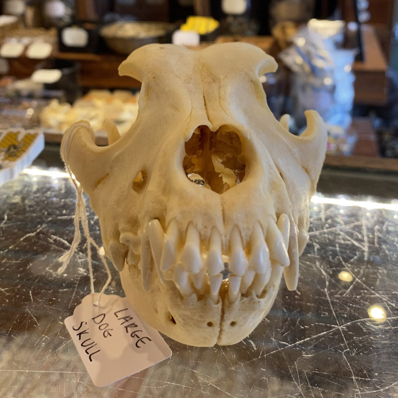 Large Domestic Dog Skull - Curious Nature