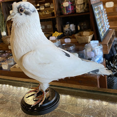 White Taxidermy Pigeon