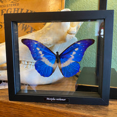 Double Glass Morpho Rhetenor Helena