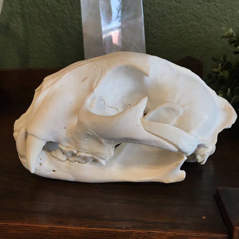 Mountain Lion Skull - Curious Nature
