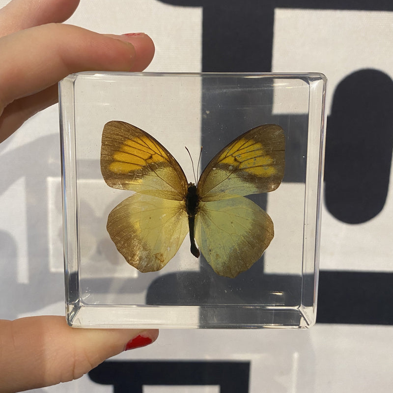 Yellow Orange Tip Butterfly Paperweight - Curious Nature