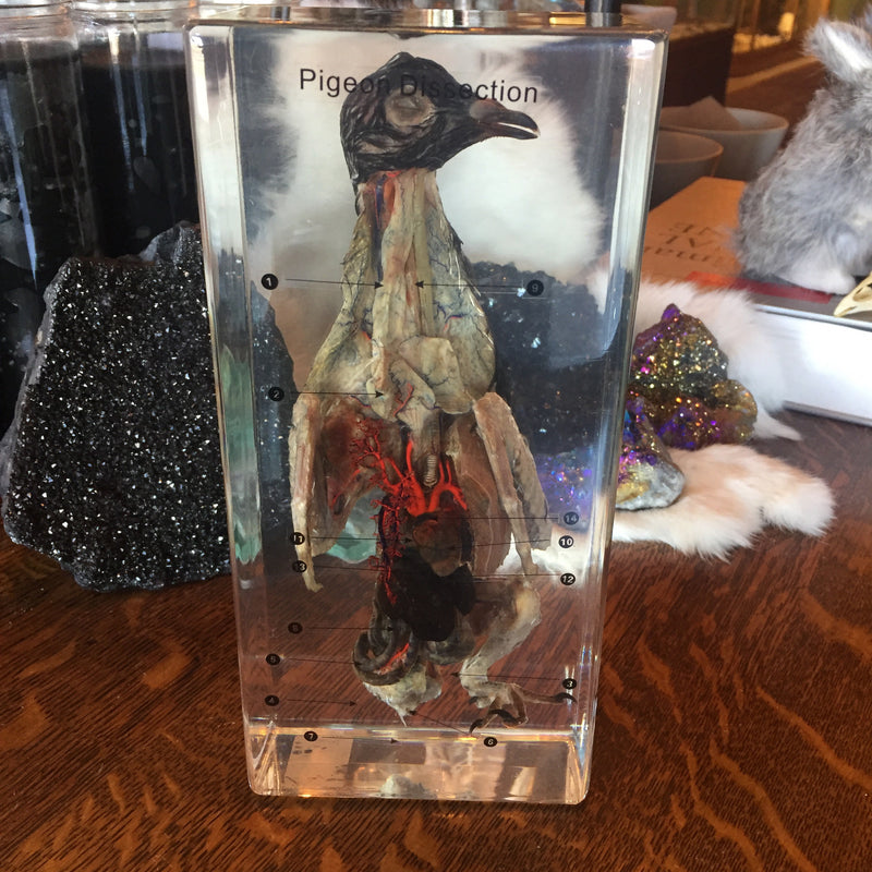 Pigeon Dissection in Resin