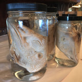 Preserved Turkey Head Wet Specimen