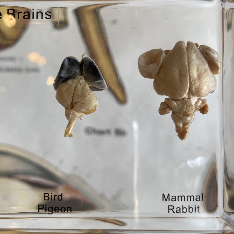 Comparative Brains - Curious Nature