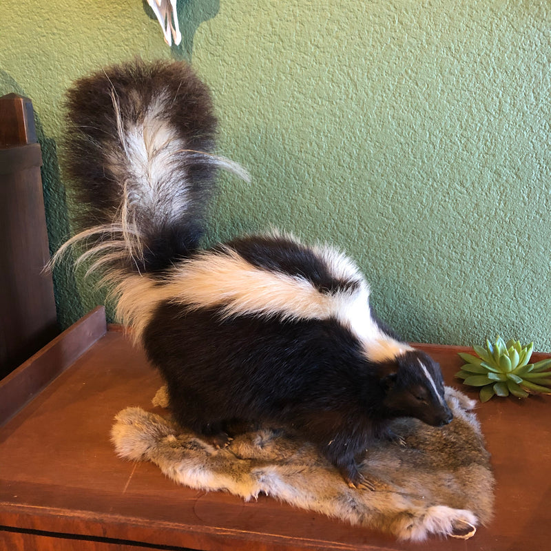 Vintage Taxidermy Skunk