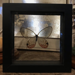 Framed Glasswing Butterfly