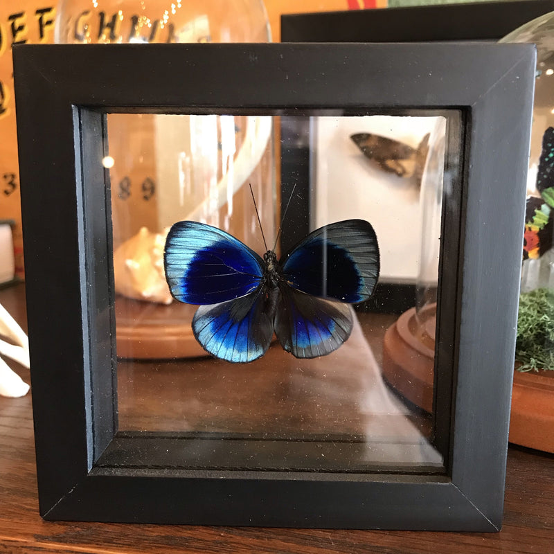 Framed Asterope Butterfly - Curious Nature