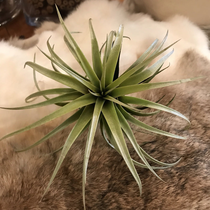 Tillandsia - Curious Nature