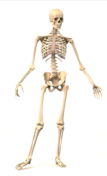 Skeleton_osteoporosis_risk_factors