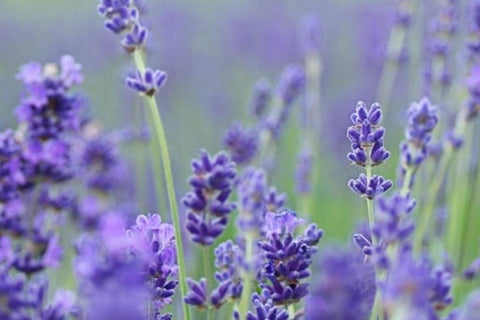 Linalool. Anaesthetic, Anti-Convulsant, Analgesic. Potent calming action, Anti-Anxiety. (Also found in Lavender)