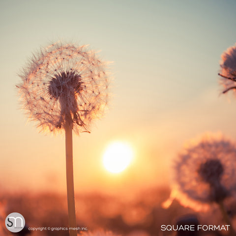 DANDELIONS AT SUNSET - Nature Wall Mural square
