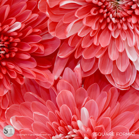 RED FLOWER CLOSEUP - Wall Mural square