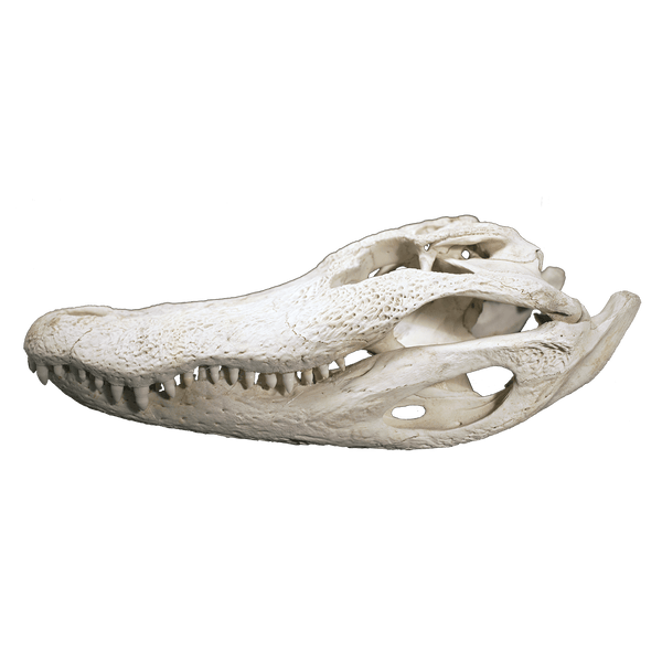 "Alligator Skull XL - one size 19"" - 20"""