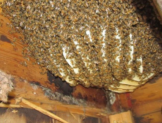 Bee hive in a building - we can remove the colony free of charge
