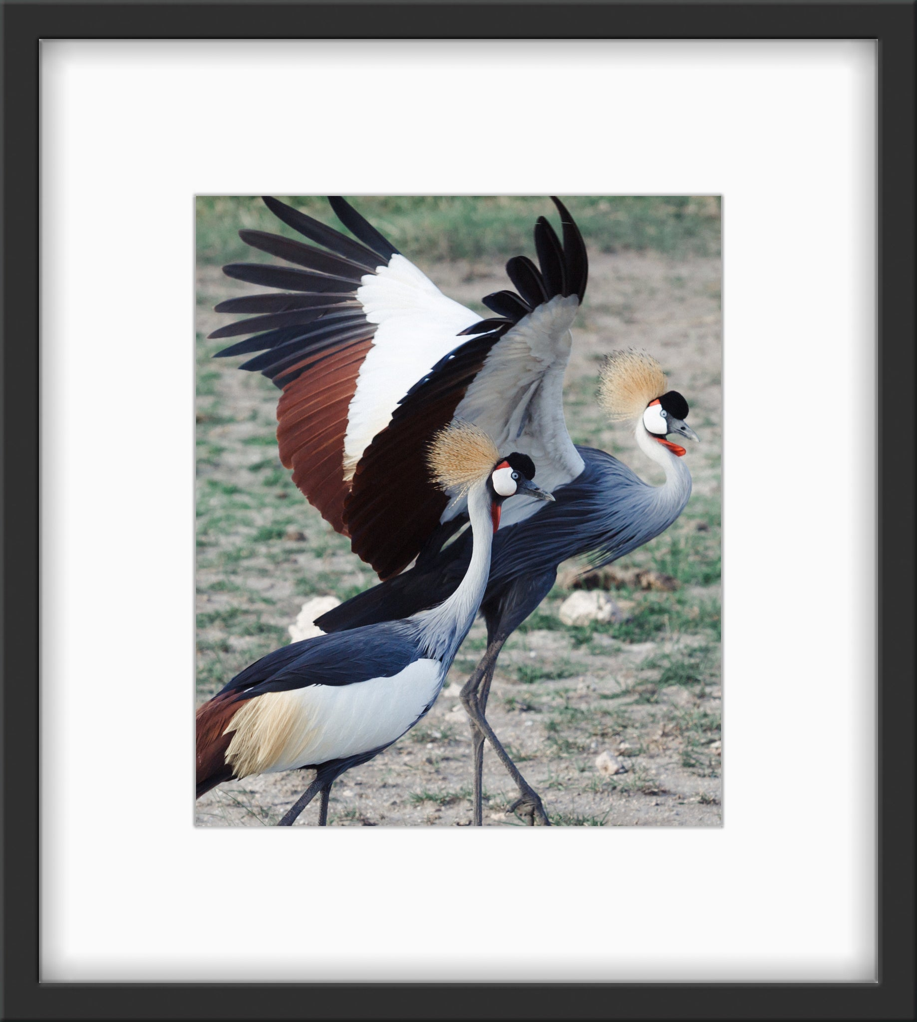 Couplings of the Grey Crowned Cranes 01 / Stephanie Alcaino