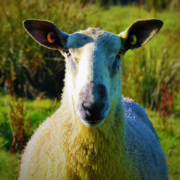 WHY DO WE USE WOOL?