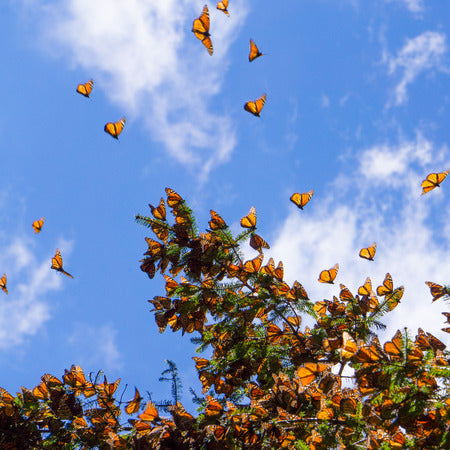 Fall: The Magic of Monarch Butterflies