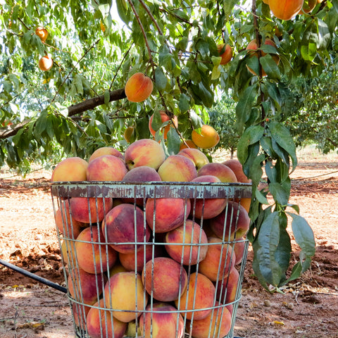Bushel of Fredericksburg Peaches