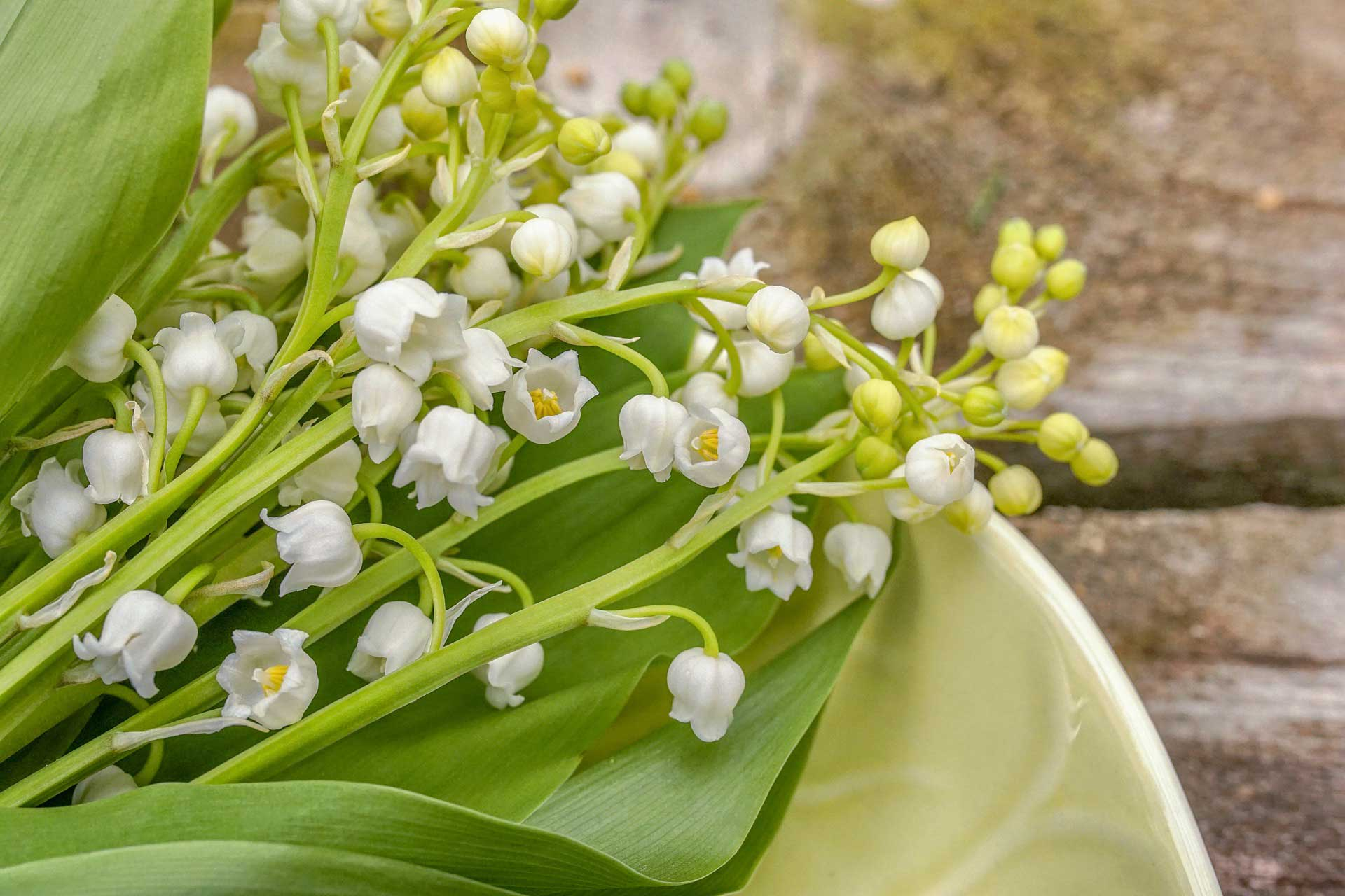 close up of white muguet lily of the valley blossoms on green leaf