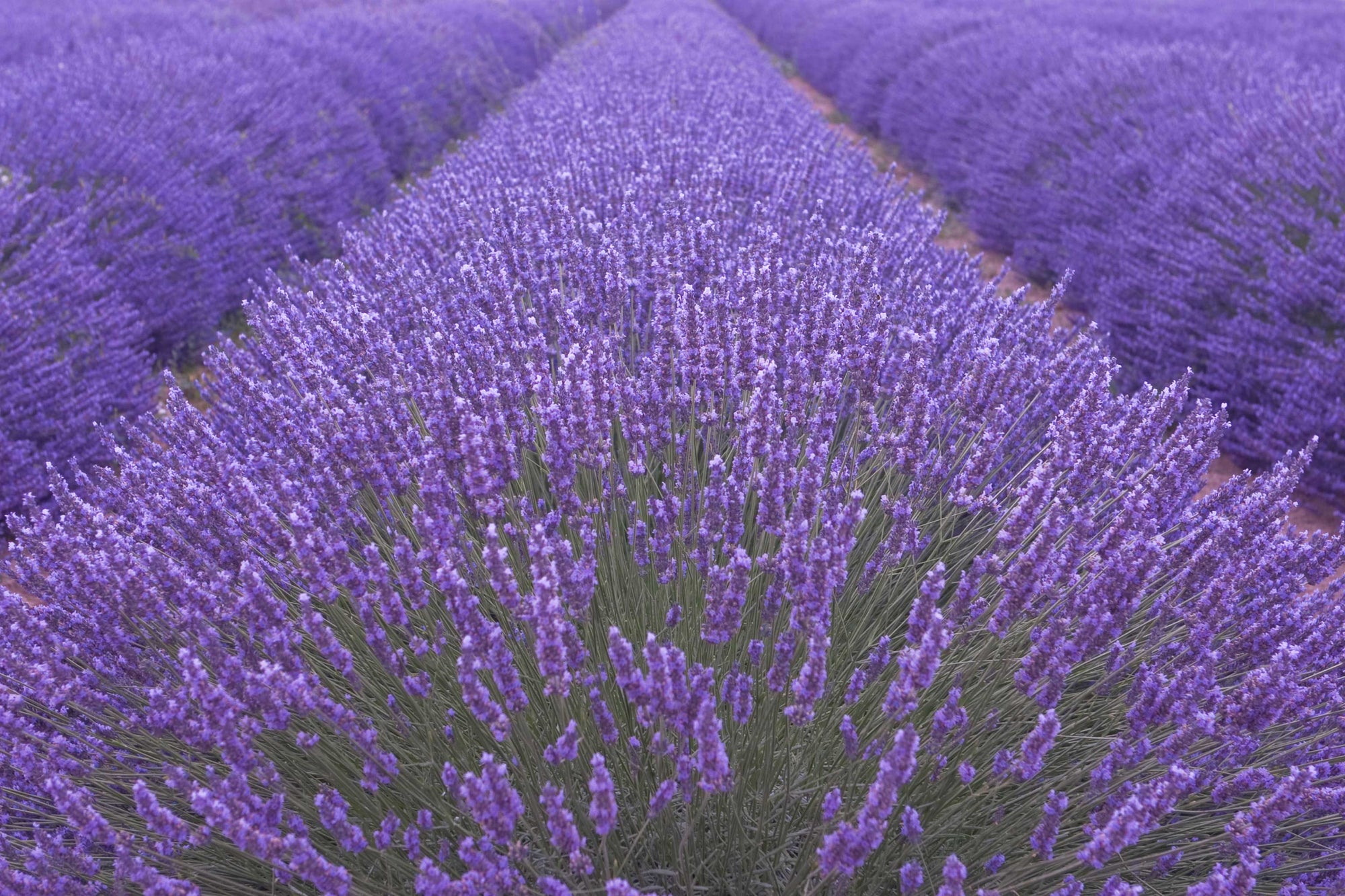 close up of lavender blossoms in field
