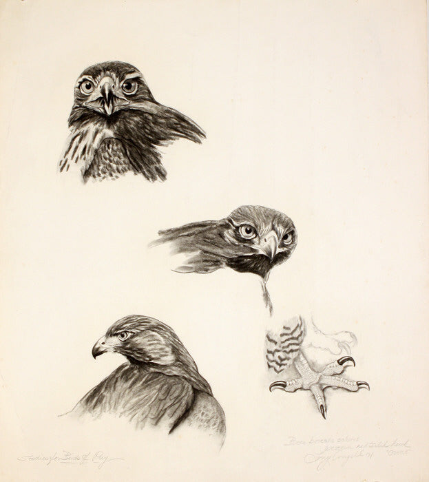 Tony Angell Artwork 'Western Redtailed Hawk' | Available at fosterwhite.com