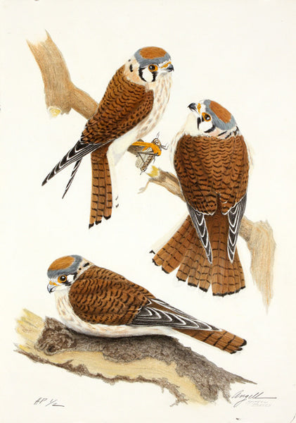 Tony Angell Artwork 'Kestrels Study, 23/30' | Available at fosterwhite.com