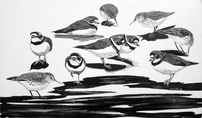 Tony Angell Artwork 'Semipalmated Plovers & Western Sandpipers at Dungeness' | Available at fosterwhite.com