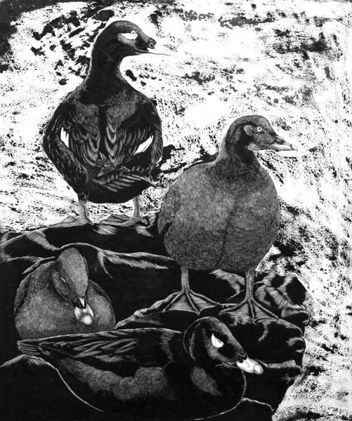 Tony Angell Artwork 'White Winged Scoters' | Available at fosterwhite.com