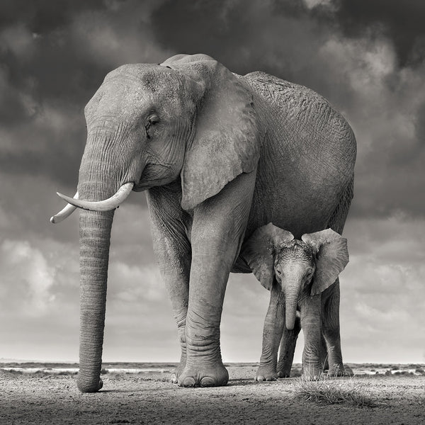 David Burdeny Artwork 'Elephant Mother and Child, Amboseli, Kenya' | Available at fosterwhite.com