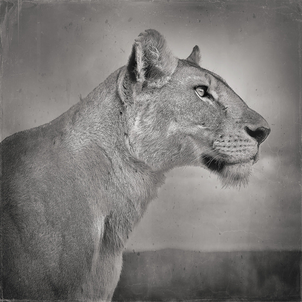 David Burdeny Artwork 'Lioness Profile, Serengeti, Tanzania' | Available at fosterwhite.com