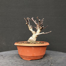 Lade das Bild in den Galerie-Viewer, Bonsai Apfel / Malus liset