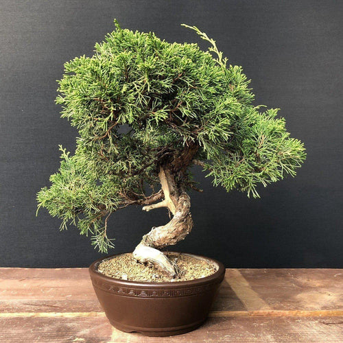 BG18081-Bonsai-Juniperus-chinensis-itoigawa