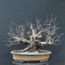 Lade das Bild in den Galerie-Viewer, Bonsai Felsenkirsche / Prunus mahaleb