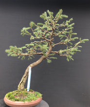 Lade das Bild in den Galerie-Viewer, Bonsai Fichte / Picea abies