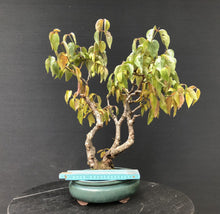 Lade das Bild in den Galerie-Viewer, Bonsai Hartriegel / Cornus mas