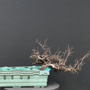 Bonsai Schlehe / Prunus spinosa