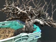 Lade das Bild in den Galerie-Viewer, Bonsai Schlehe / Prunus spinosa