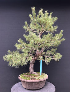 Bonsai Waldkiefer / Pinus sylvestris