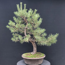 Lade das Bild in den Galerie-Viewer, Bonsai Waldkiefer / Pinus sylvestris