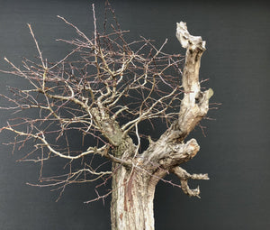 Bonsai Weissdorn / Crataegus