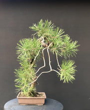 Lade das Bild in den Galerie-Viewer, Waldkiefer / Pinus Sylvestris