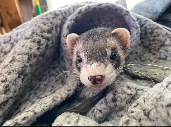 Six Tips To Make Your Ferrets Better At Home
